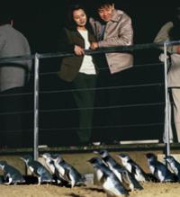 Phillip Island Penguin Parade Evening Tour