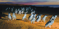 Phillip Island: Penguins, Koalas and Kangaroos Day Tour from Melbourne