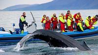 Big Whale Safari and Puffins Tour from Húsavík