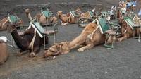Camel safari in Timanfaya