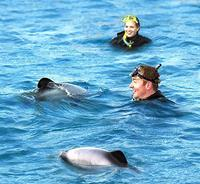Akaroa Swim with Dolphins Tour from Christchurch