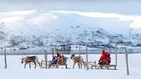 Reindeer Sledding, Feeding And Sami Culture