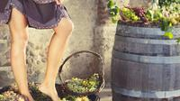 GRAPE STOMPING FROM CASTELLINA IN CHIANTI: traditions of the ancient Tuscan families