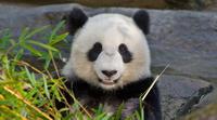 Pandas at San Diego Zoo*
