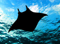 Manta Night Snorkel and Dive*
