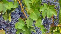 Wine Tasting in a Typical Masseria in Puglia Near Trani