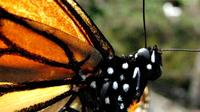 6-Night Monarch Butterfly Migration from Mexico City