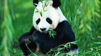 Chengdu Private Day Tour: Pandas, Kuanzhai Ancient Street, and Jinli Ancient Street