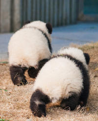 Private Day Trip: Chengdu Research Base of Giant Panda Breeding and Leshan Grand Buddha