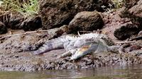 Crocodiles Safari Tour from Puntarenas