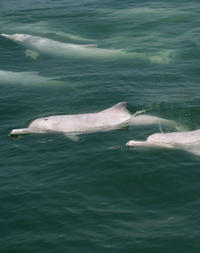 Hong Kong Pink Dolphin Watching Cruise