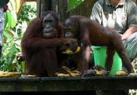 Sandakan Sepilok Orang Utan Rehabilitation Center Full-Day Trip from Kota Kinabalu