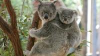 Lone Pine Koala Sanctuary Day Pass