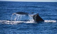 Maui Whale Watch Cruise