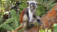 Red Colobus Monkey*