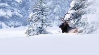 Jasper Alberta Winter Wildlife Discovery Tour 3872MV