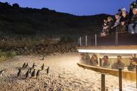 Phillip Island Ultimate Penguin Eco Tour or Skybox Experience