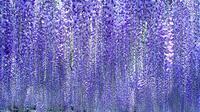 Spring flower tour of Hitachi Seaside Park and Ashikaga Flower Park