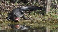 Everglades Adventure Day with Swamp Buggy and Airboat Rides
