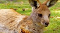 Bonorong Wildlife Sanctuary and Mt Wellington Summit Tour