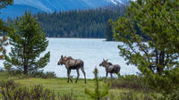 Jasper Alberta Jasper Wildlife and Waterfalls Tour with Maligne Lake Hike 5400P13