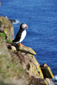Puffin Express Cruise to Akurey from Reykjavik