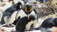 Rockhopper Penguins at Cape Bougainville from Stanley