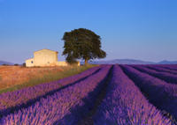 Provence Lavender Fields Tour from Aix-en-Provence*
