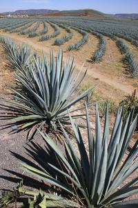 Tequila and Distillery Day Trip from Guadalajara