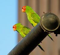San Francisco's Wild Parrots of Telegraph Hill Walking Tour