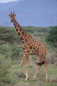 Africa Fund for Endangered Wildlife's Giraffe Centre and David Sheldrick's Elephant Orphanage Tour from Nairobi