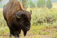 Grand Teton Wildlife Safari in Open-Air Vehicle