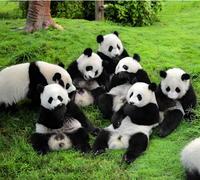 Day Tour: Chengdu Giant Panda Bear Research Center and Leshan Grand Buddha
