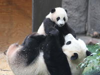 Private Tour: Chengdu Panda Research Center with One-Way Airport Transfer