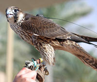 Private Tour: Falconry Experience and Wildlife Tour in Dubai with Optional Breakfast