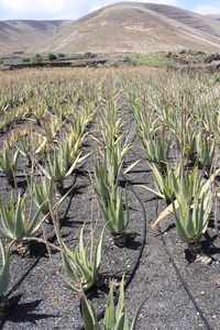 Discover an aloe vera plantation on this day trip