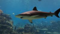 Grand Bahama Reef Shark Dive*