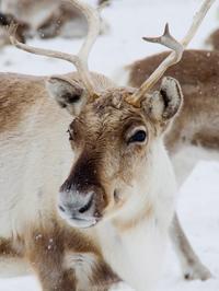 Lapland Reindeer Sleigh Ride from Saariselkä