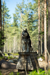 Summer Lapland Husky Hike with Transport from Rovaniemi