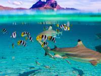 Snorkel with sharks in Bora Bora lagoon*