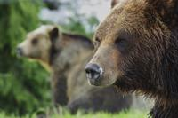 Grouse Mountain Grizzly Bears*