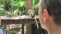 Barbados Green Monkeys eating freely*