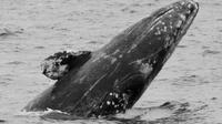 Gray Whale Watching Cruise