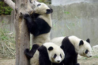 Private Chengdu Day Tour Including Giant Pandas and the Jinsha Site Museum