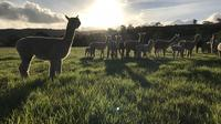 Alpaca Farm Day tour including Gourmet BBQ lunch and Adelaide city transfer
