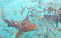 Hol Chan Marine Park, Shark Ray Alley and Caye Caulker Tour from Ambergris Caye