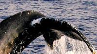 Humpback Whale Tales on the Kona-Kohala Coast in Kawaihae