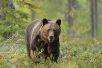 Small-Group Brown Bear-Watching Experience from Brasov