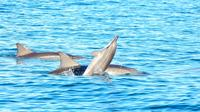 Swim with Wild Dolphins on Benitiers Island: Day Tour from Grand Riviere Noire - , , Mauritius