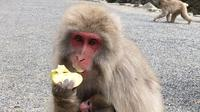 Full day tour of Snow Monkeys Fruit Picking and Obuse Town Visit